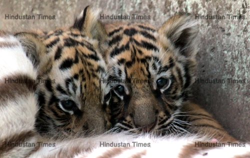 White Tigress WIth Her Two Month Cubs At Kamla Nehru Zoo In Indore