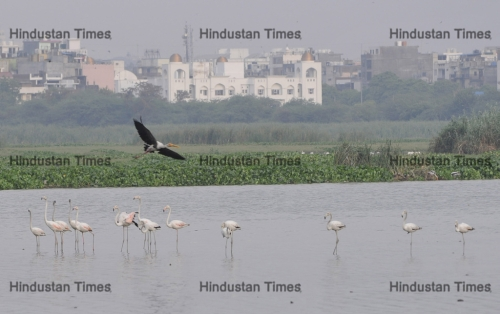 Greater Flamingos At The Okhla Bird Sanctuary