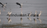 Asian Open Bill Storks In Bhopal
