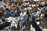 Goats On Sale In Markets Ahead Of Bakra-Eid 2016