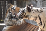 Male Royal Bengal Tiger to Mate White Tigress At National Zoological Park Delhi