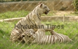 Two White Tigers Play At Lucknow Zoo