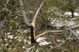 Untimely Snow Damages Apple Orchards Across Kashmir
