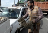 Leopard Cub Rescued From Shimla Court Complex