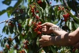 Cherry Fruit Harvesting In Kashmir Valley