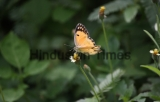 Butterflies In The Aravalli Mountain Ranges
