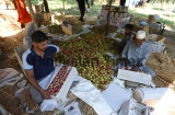 Apple Harvesting Begins In Srinagar